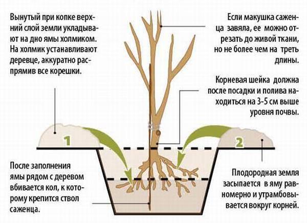 Вишня Молодежная: отзывы, фото, описание сорта, правила выращивания и ухода