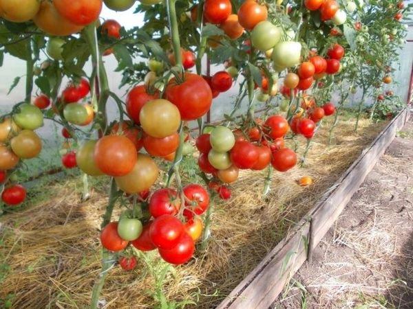 Томат Евпатор f1: отзывы, фото, описание и выращивание