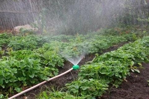 Подготовка клубники к зиме: правильный уход за ягодой осенью, подкормка, обрезка