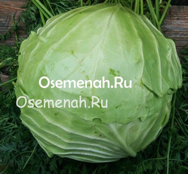 Характеристики и ботаническое описание сорта капусты июньская