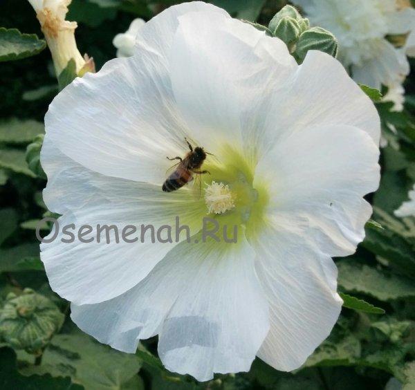 Штокроза 65 фото описание многолетних сортов цветка В чем различия с мальвой Как вырастить штокрозу розовую в саду Болезни и вредители