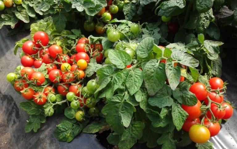 Томат ВИДИМО-НЕВИДИМО: отзывы, фото, характеристика и описание урожайного сорта