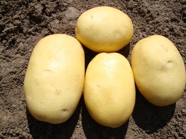 Джувел сорт картофеля характеристика