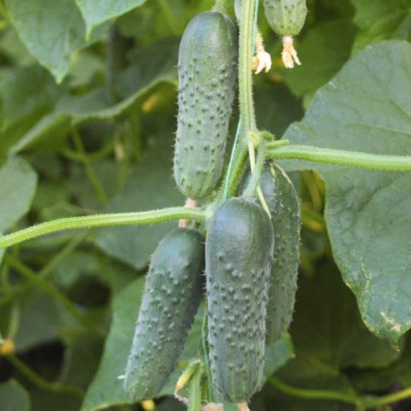 Огурец Маша: описание сорта, характеристика и фото плодов