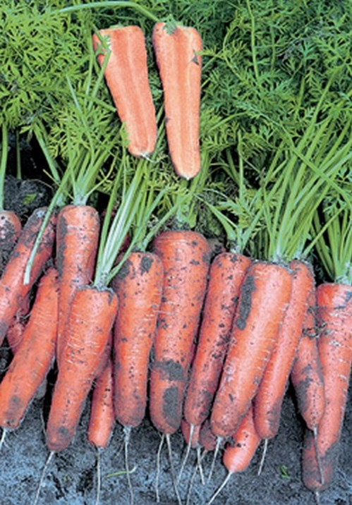 Особенности сорта моркови Канада и описание плодов
