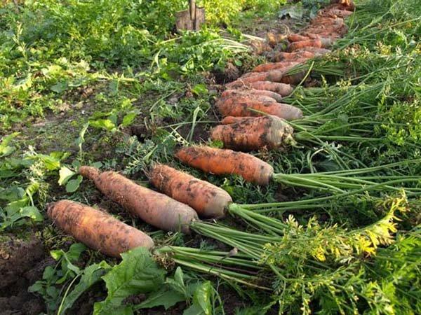 Морковь сорта самсон