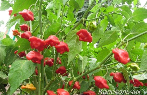 Характеристика и описание перца Колокольчик, как его выращивать