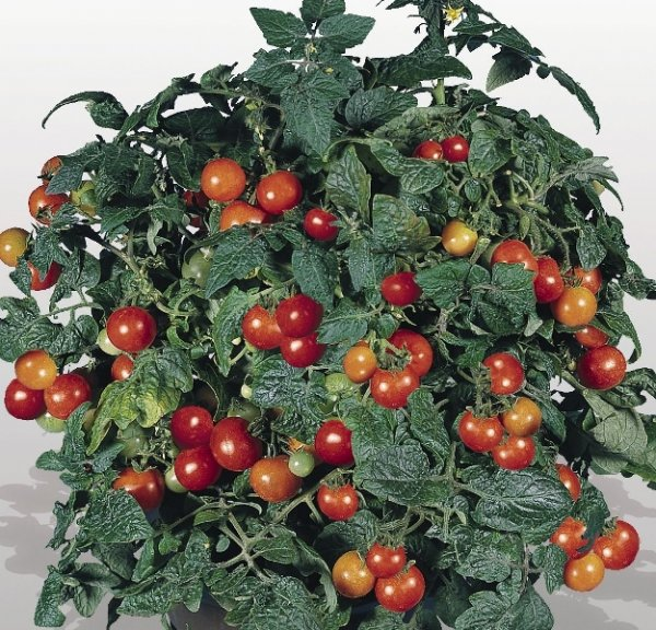 Томат балконное чудо: как выращивать и ухаживать
