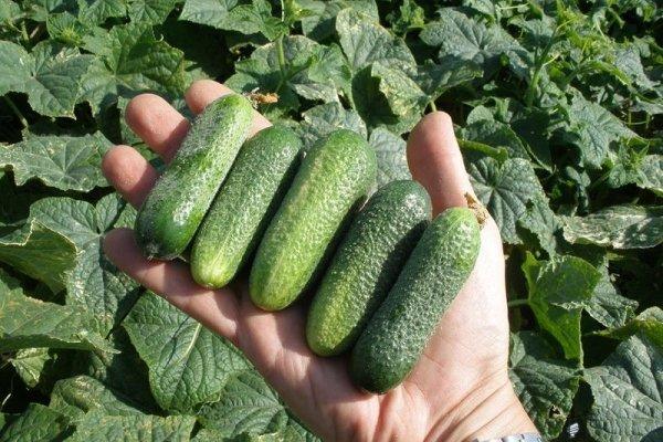 Огурец Клавдия F1: описание высокоурожайного гибрида, отзывы и фото тех, кто сажал