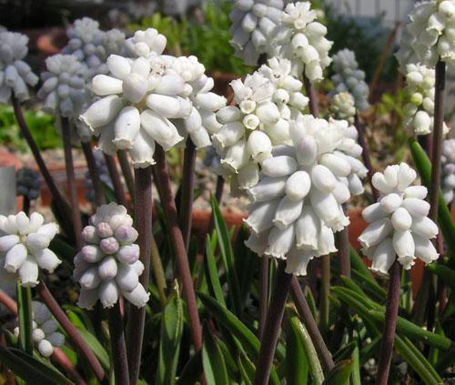 Мускари: выращивание цветов и уход в открытом грунте