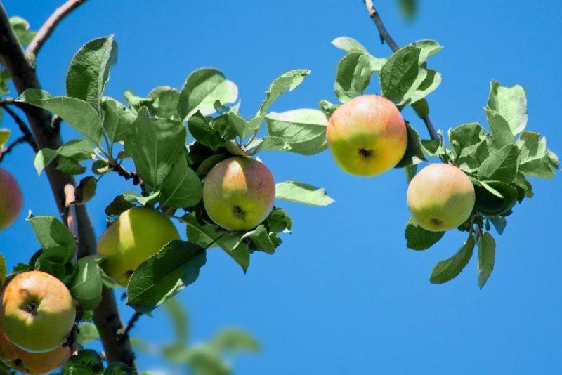 Описание сорта яблок Медуница