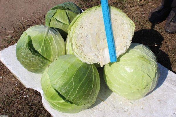 Капуста Мегатон: отзывы, фото, описание и выращивание сорта