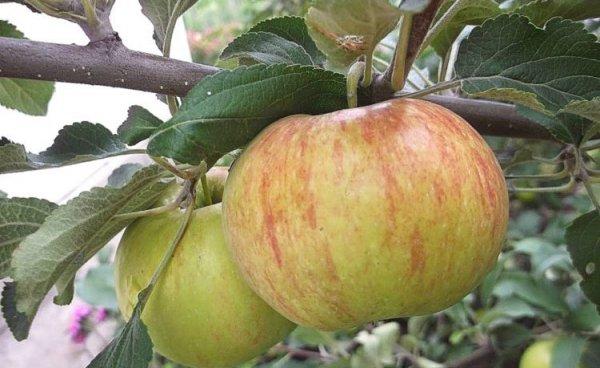 """Знакомимся с яблоней сорта """"Медуница"""""""
