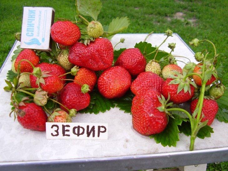 Клубника зефир описание сорта отзывы садоводов фото