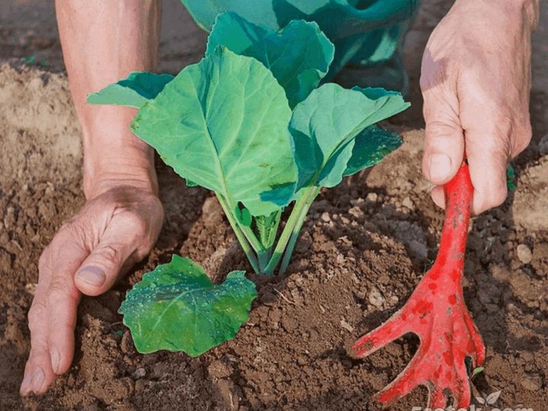 Кольраби капуста выращивание в открытом грунте