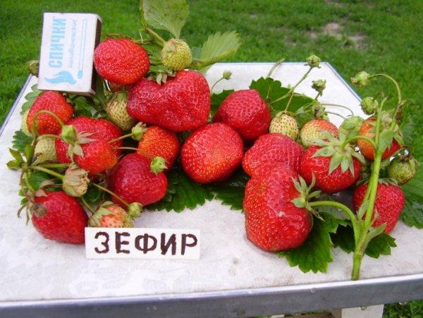 Клубника ЗЕФИР: описание сорта садовой земляники, фото и отзывы
