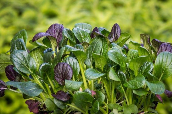 Лучшие виды и сорта шпината для домашнего выращивания