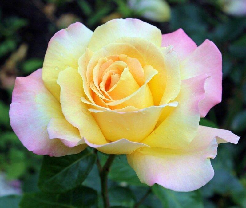 Роза глория дей посадка и уход