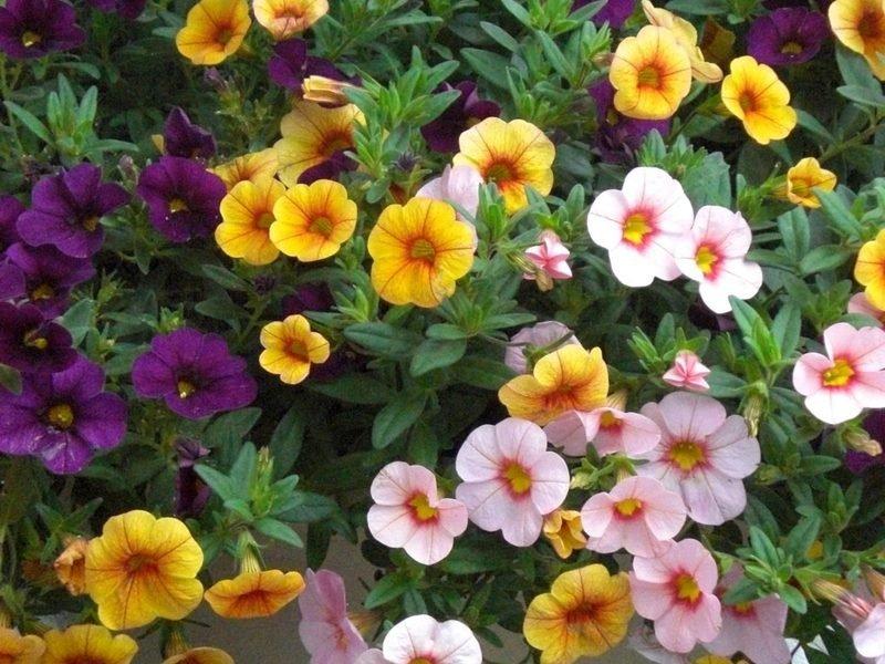 Цветы калибрахоа фото посадка и уход