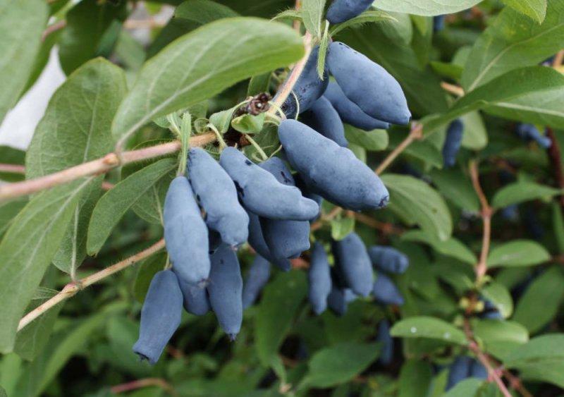 Жимолость Голубое веретено описание сорта, преимущества и недостатки, видео