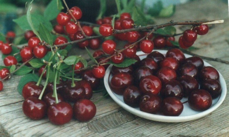 Сорта вишни без поросли для урала