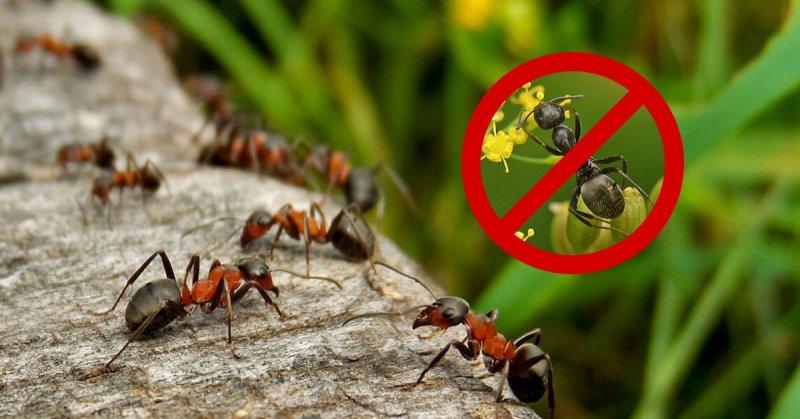 Избавиться от муравьев уксусом в квартире и на участке