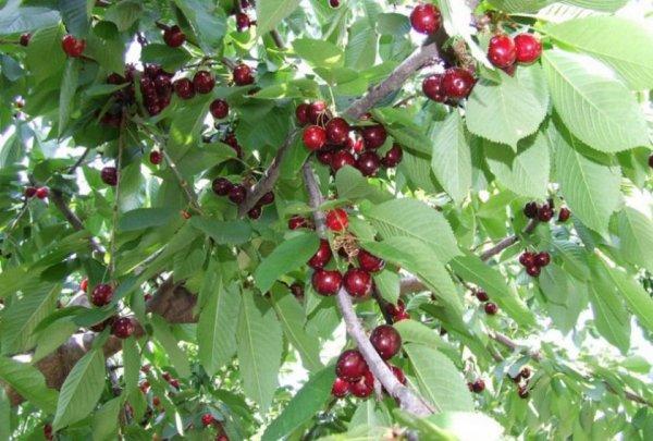 Черешня Овстуженка: отзывы, фото, описание сорта, посадка и уход, выращивание, морозостойкость, опылители
