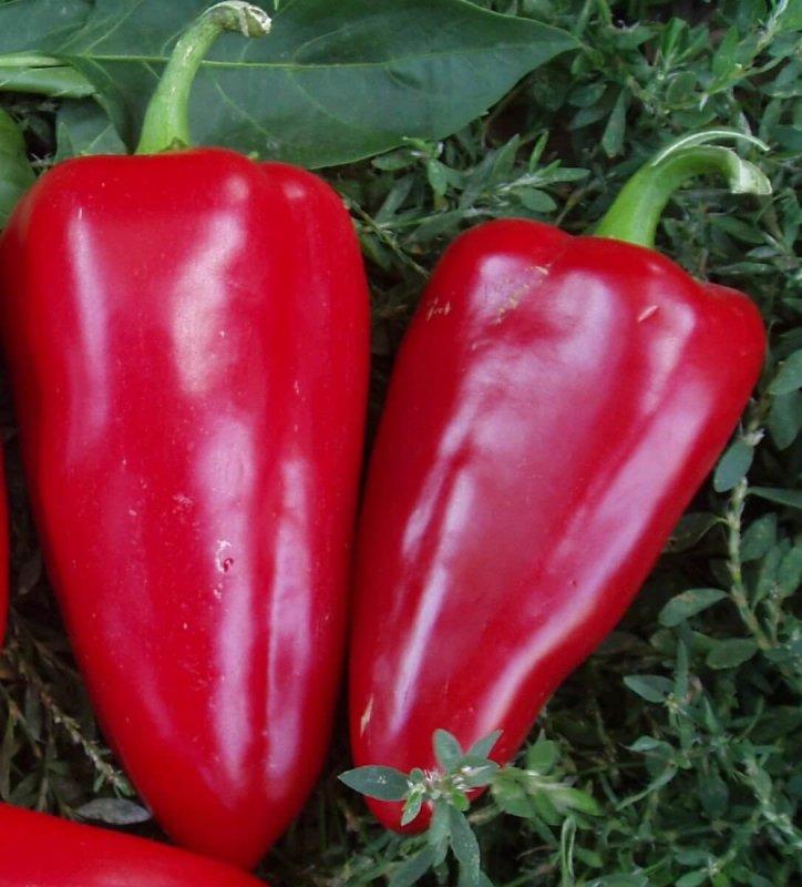 Перец Богатырь: отзывы, фото, урожайность и описание сорта