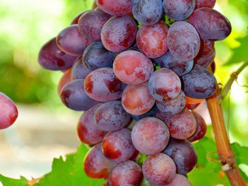 Виноград «Виктория»: подробное описание сорта с фото, уход и обрезка