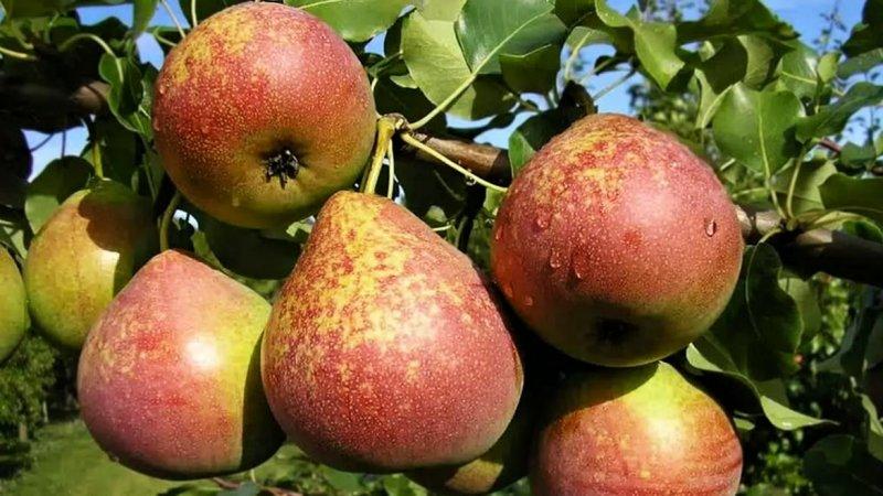Осенние сорта груш — Осенняя сладкая, Московская осенняя, Осенняя большая, Бере осенняя