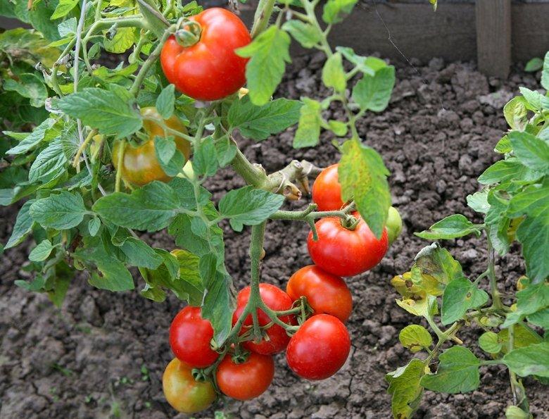 Томат Цитрусовый сад характеристика и описание сорта отзывы дачников с фото
