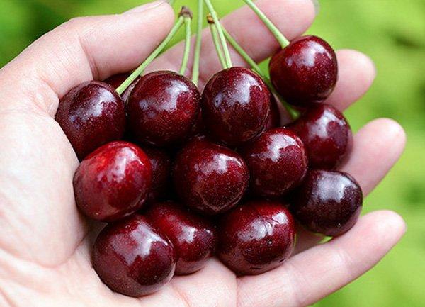 Черешня Ипуть: отзывы, фото, описание ягодного сорта плодового дерева