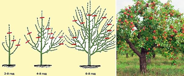 Как правильно обрезать яблоню. Когда лучше делать обрезку весной и осенью. Обрезка молодых и старых яблонь.