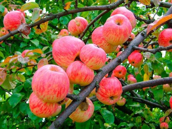 Вкус яблок мельба