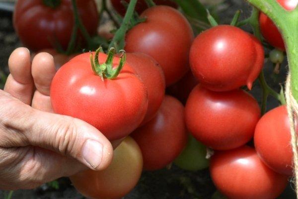 Томат катя характеристика и описание сорта урожайность с фото