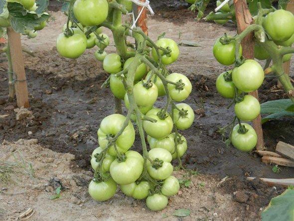 Характеристика и описание сорта томата Катя его урожайность