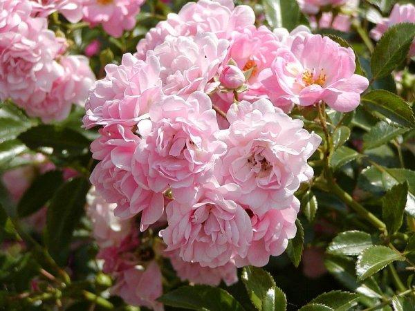 Плетистые розы, цветущие все лето: сорта зимостойкие для Подмосковья
