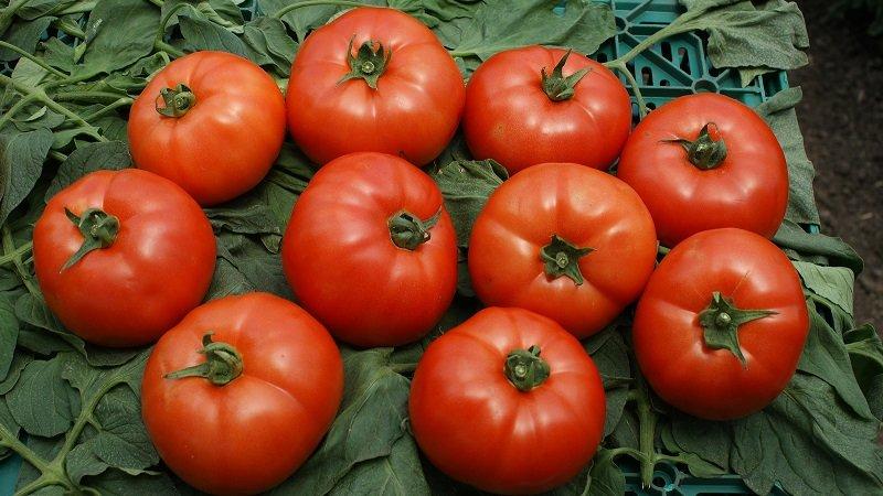 Томат красная стрела характеристика и описание сорта урожайность фото