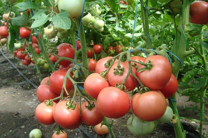 Розовые томаты для теплицы: по верси фермеров, по мнению садоводов