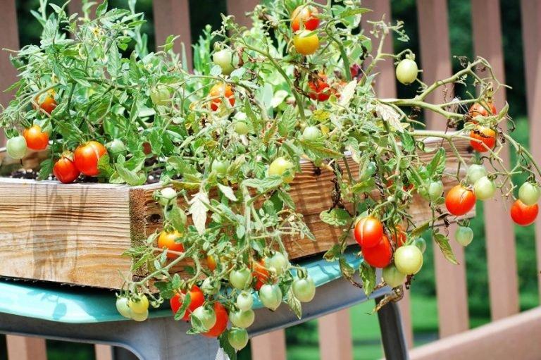 Лучшие сорта помидор для балкона