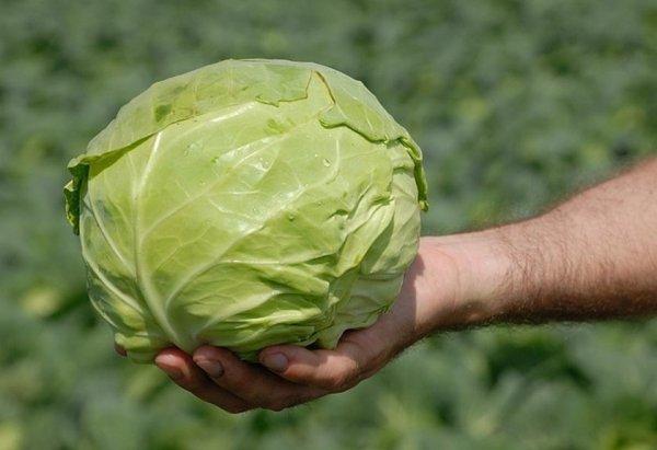Лучшие сорта цветной капусты: самые урожайные для открытого грунта по отзывам, ранние, поздние, голландские, для Подмосковья, Сибири, Урала
