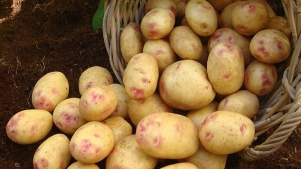 Описание сорта картофеля Пикассо его характеристика и урожайность