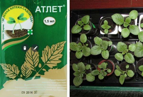 Атлет удобрение для рассады: особенности применения стимулятора роста, отзывы садоводов